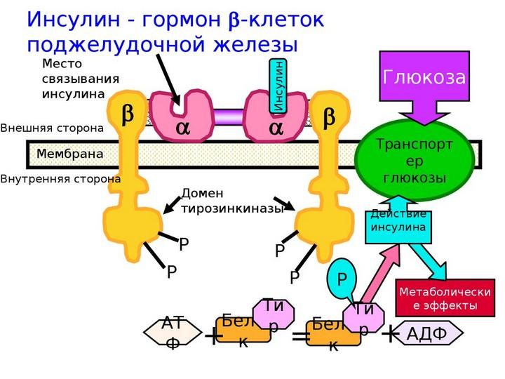 схема синтеза инсулина в-клетками поджелудочной железы