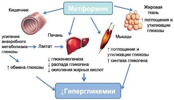 действие метформина