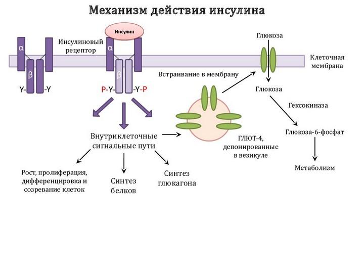механизм работы инсулина