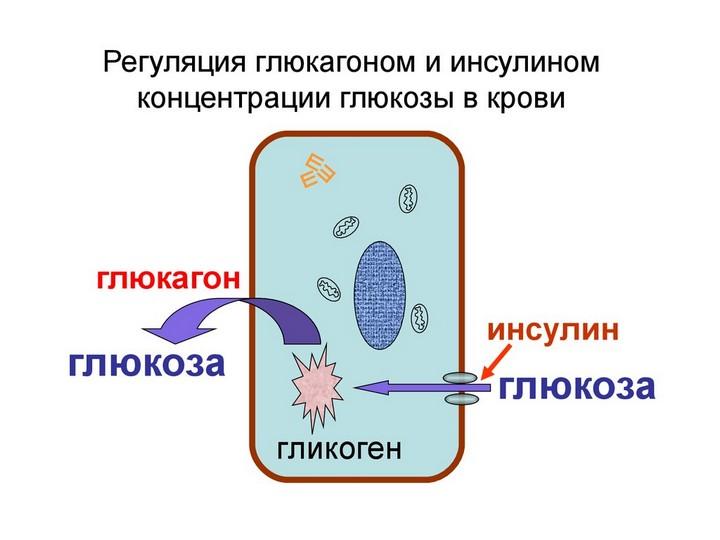 регуляция обмена веществ